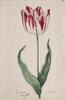 Dutch, 17th century - Great Tulip Book: Den Admirael de France