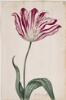 Dutch, 17th century - Great Tulip Book: Bucelo