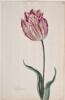 Dutch, 17th century - Great Tulip Book: Boterman