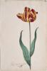 unknown Dutch artist - Great Tulip Book: Root En Geel Van Leyden
