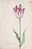 Dutch, 17th century - Great Tulip Book: Admirael Wils-Son