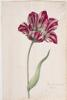 unknown Dutch artist - Great Tulip Book: Kamelot Van Wena