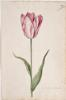 Dutch, 17th century - Great Tulip Book: Colembijm de Meester